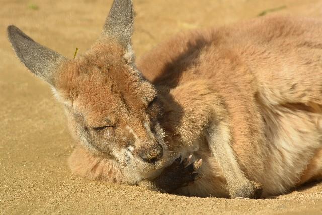 気持ちよさそうに寝ているカンガルー